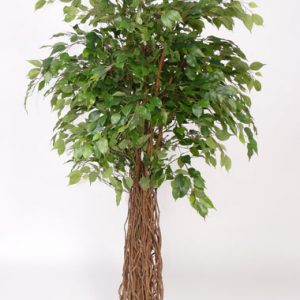 Ficus Multitrun Deco Trade